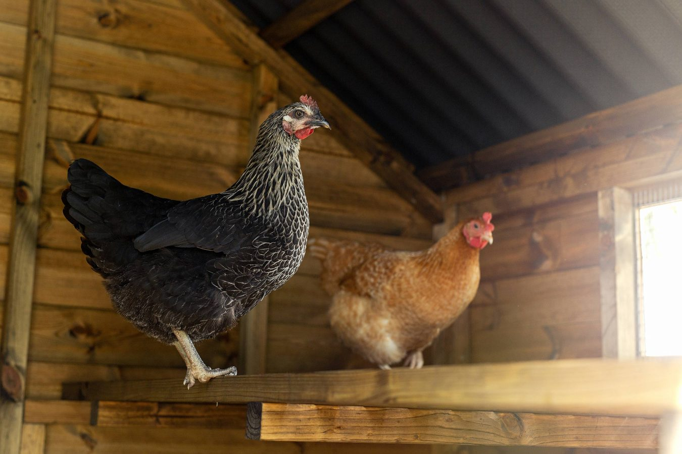 chicken-portrait-photography-for-chickenguard