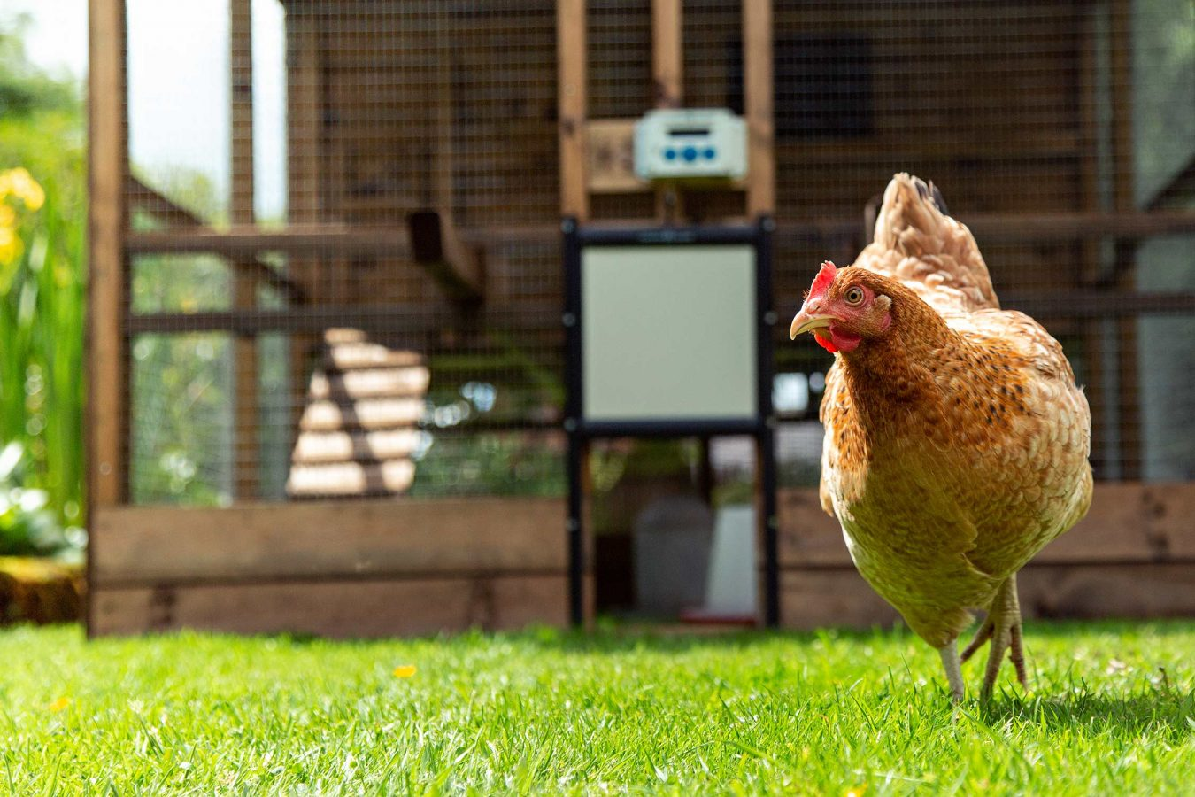 location-chicken-photography-for-chickenguard