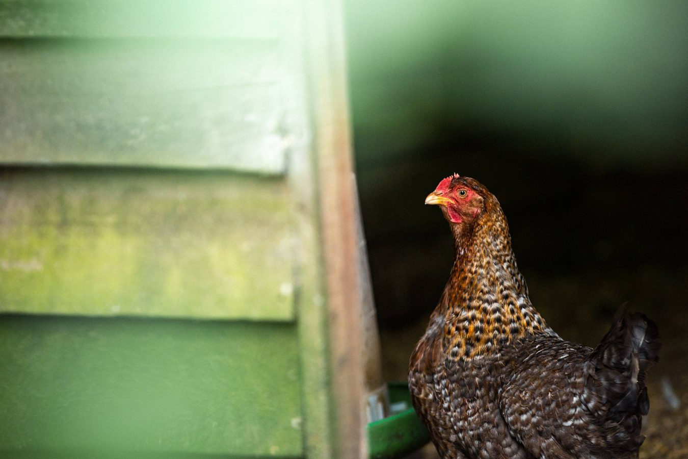 chicken-portrait-photography